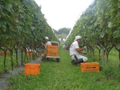 この時期しかできない!ワイン用ブドウ収穫体験