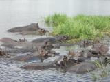 チョベ川でのカバ