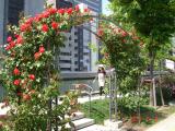 当日は中之島公園のバラが咲き始めていました。