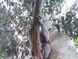 木から降りてくるコアラ