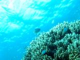 辺り一面の天然サンゴ