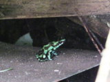 野生のマダラヤドクガエル