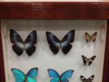 きれいな蝶の標本