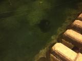 大きなエイが悠々と泳いでました。