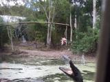 ボートから船頭さんが鳥肉を吊るしたら沢山ワニが群がってきてこのようにジャンプして喰いつこうとする