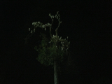 木にとまるたくさんのオウム