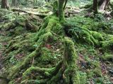 地表に出た木の根