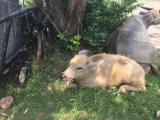 ホアールの水牛