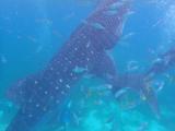 ジンベエサメ