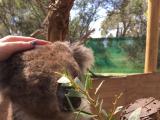 現地で追加料金でコアラとも写真を撮れます