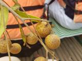 隣りの舟のベトナム人からもらった多分レイシ?