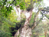 縄文杉...良いタイミングで観れました。下山し始めて直ぐ土砂降りになりました。