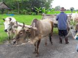 牛車に乗って散歩