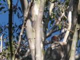睡眠中のコアラ