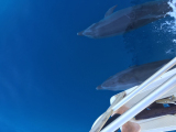 船と並走するイルカ