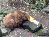 お城の堀の中で餌を食べるクマ
