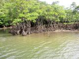 下流のマングローブ林