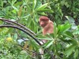 振り向いているオス猿