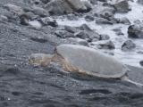 黒砂海岸のウミガメ
