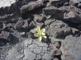 溶岩の中から小さな命が