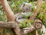 間近でコアラの昼寝する姿が見られました。