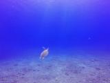 ウミガメが上がっていく姿は天使に見えた!
