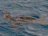 船の周りを泳いでいた海亀