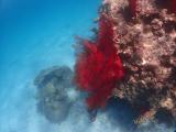 パナリ島の赤サンゴ