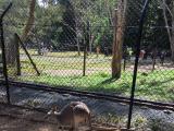 カンガルーです。のんびりしています。