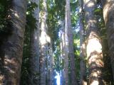 若返りの木