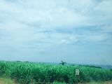 近くのサトウキビ畑