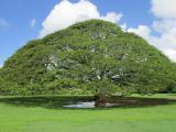 モアナルア・ガーデン「この木なんの木」気になる木