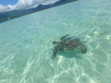 sea turtle at the sandbar