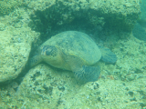 turtle at snorkelling spot in the bay