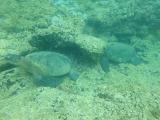 green sea turtles relaxing