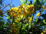 Flowering tree in Waimea bay parking lot