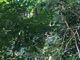 野生のカニクイザル