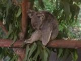 クロコダイルアドベンチャーのコアラ。モフモフでした!!
