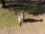 手に餌を乗せると、ワラビーが両手で押さえてペロペロ食べます