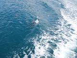 船と並走して遊ぶイルカ達