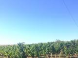たわわに葡萄がなっていました。