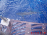 Sharks swimming around the boat as soon as we got to the cage