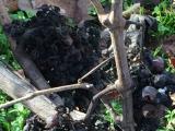 収穫されずに残ったブドウ