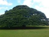日立の木!大きかったです!