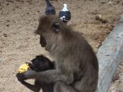 途中でよったモンキーテンプルのお猿の親子。ここで飲んだマンゴージュースおいしかったです!