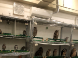 Owls of different sizes and they are not the biggest!