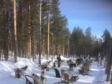 疾走前のシベリアンハスキー