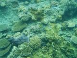 用防水手機拍下的珊瑚