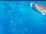 海洋博鯨鯊