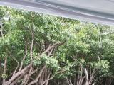 西表島紅樹林